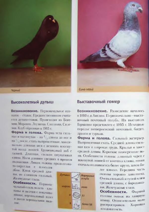 Породы голубей Image204