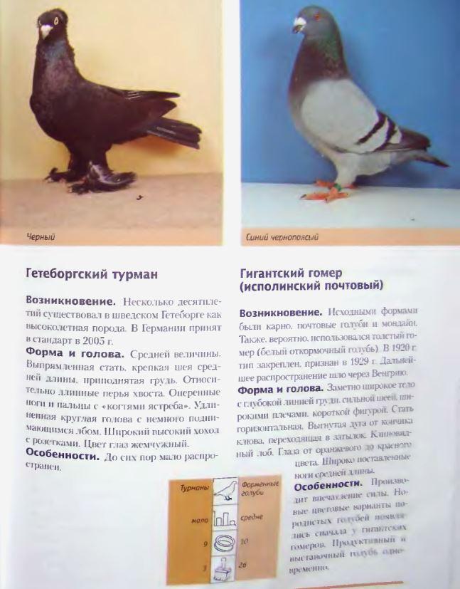 Породы голубей Image205