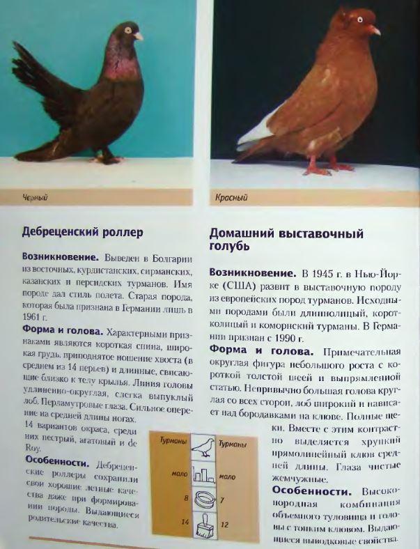 Породы голубей Image209