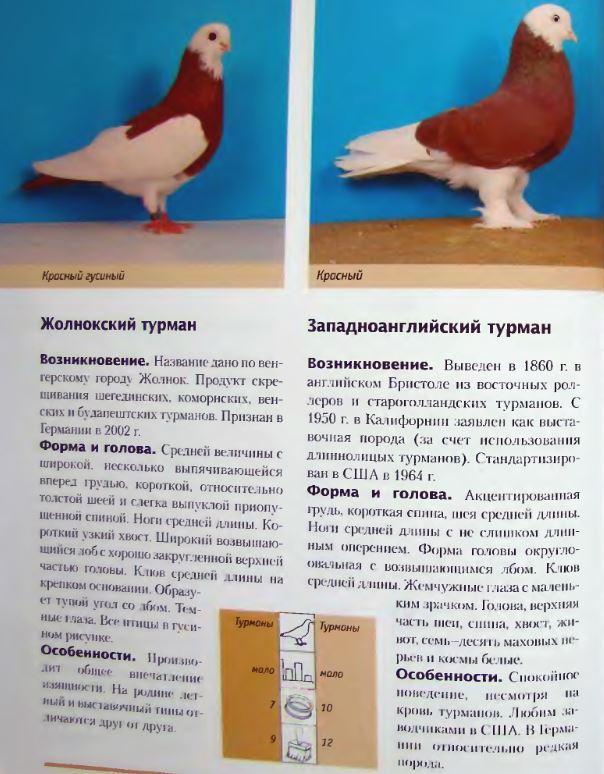 Породы голубей Image212