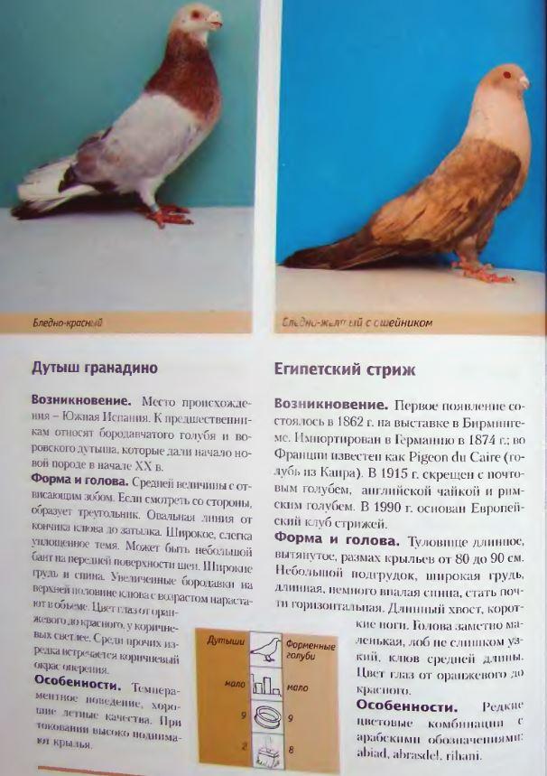 Породы голубей Image213