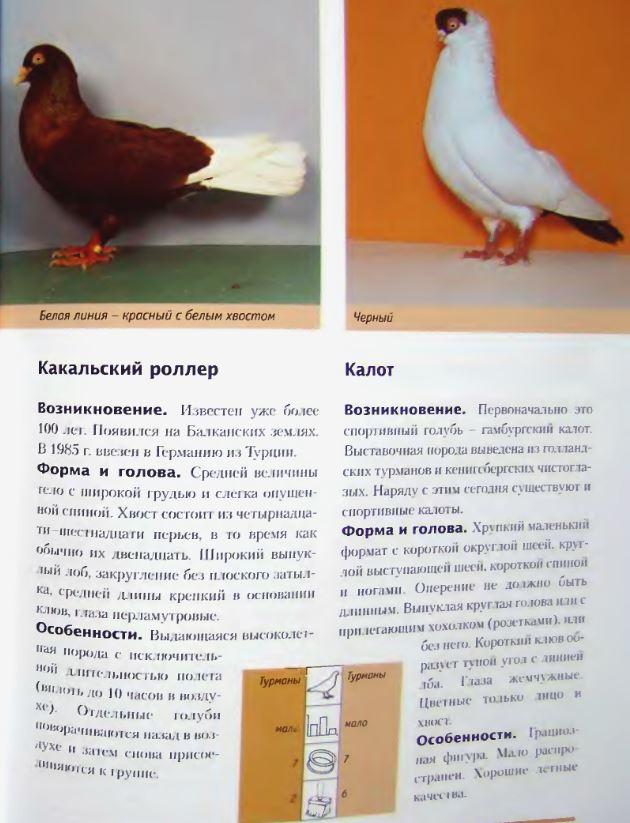 Породы голубей Image221