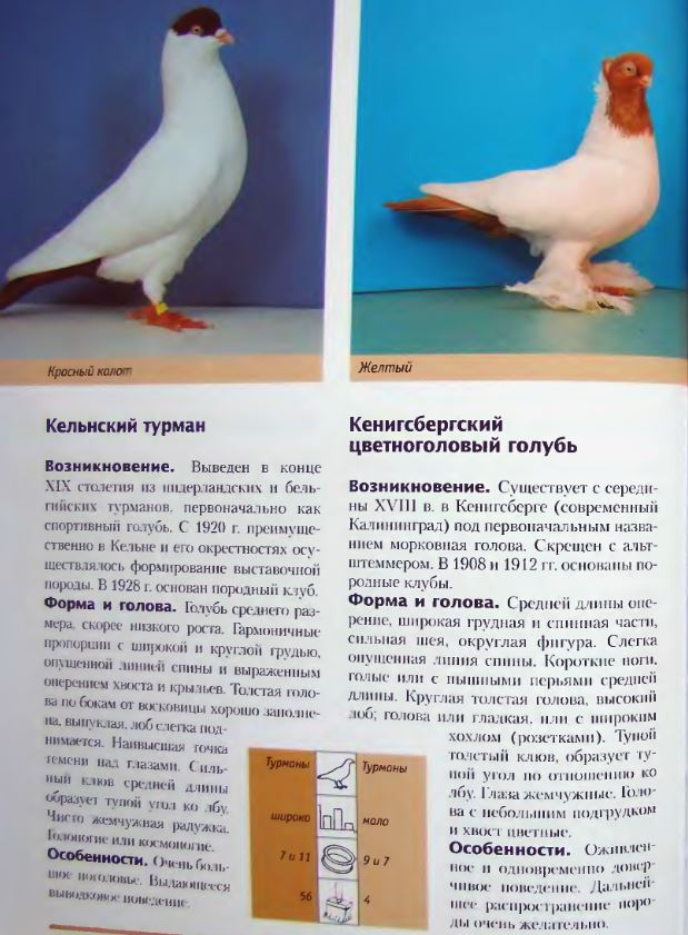 Породы голубей Image223