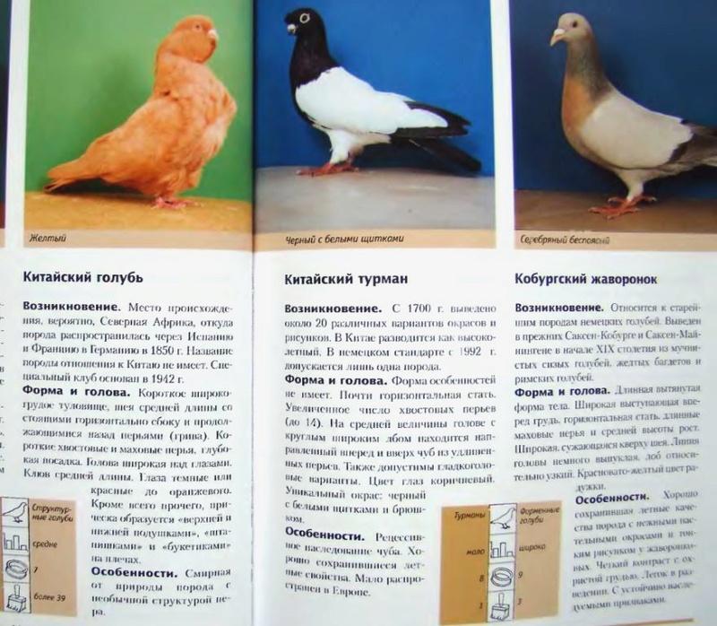 Породы голубей Image225