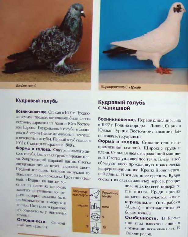Породы голубей Image235