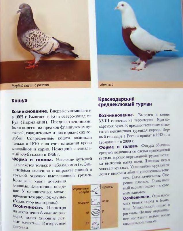 Породы голубей Image236