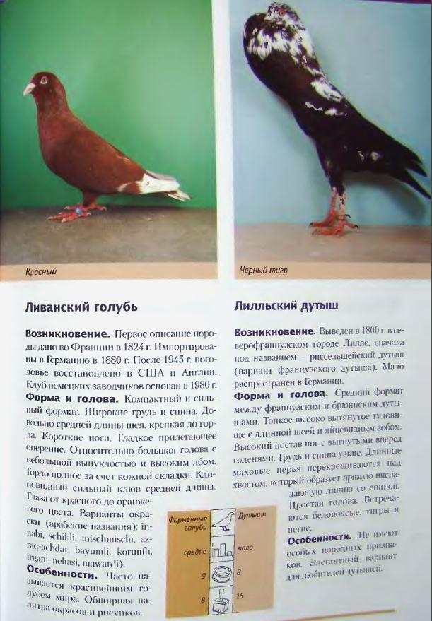 Породы голубей Image237