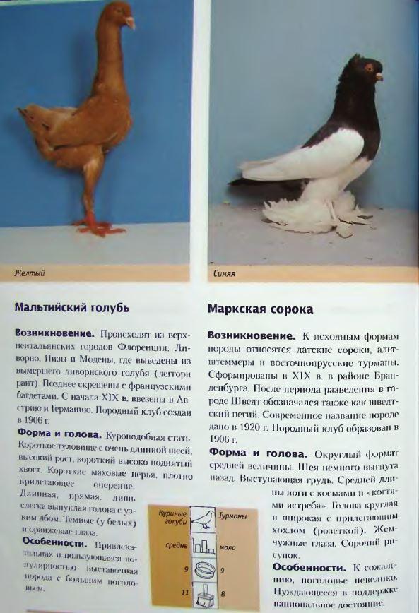 Породы голубей Image238