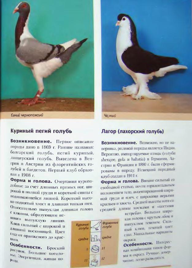 Породы голубей Image239