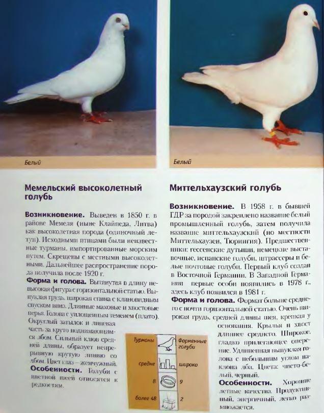 Породы голубей Image240