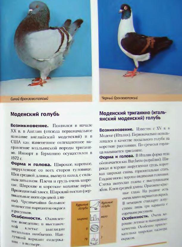 Породы голубей Image242