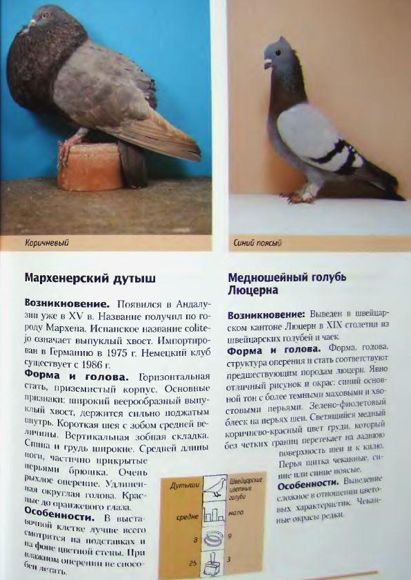 Породы голубей Image243