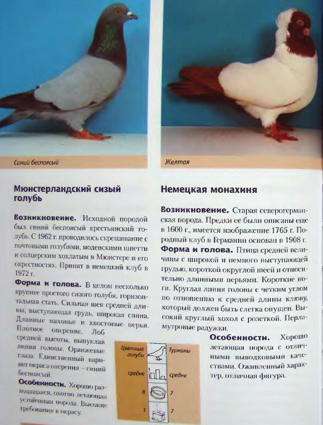 Породы голубей - Страница 2 Image245