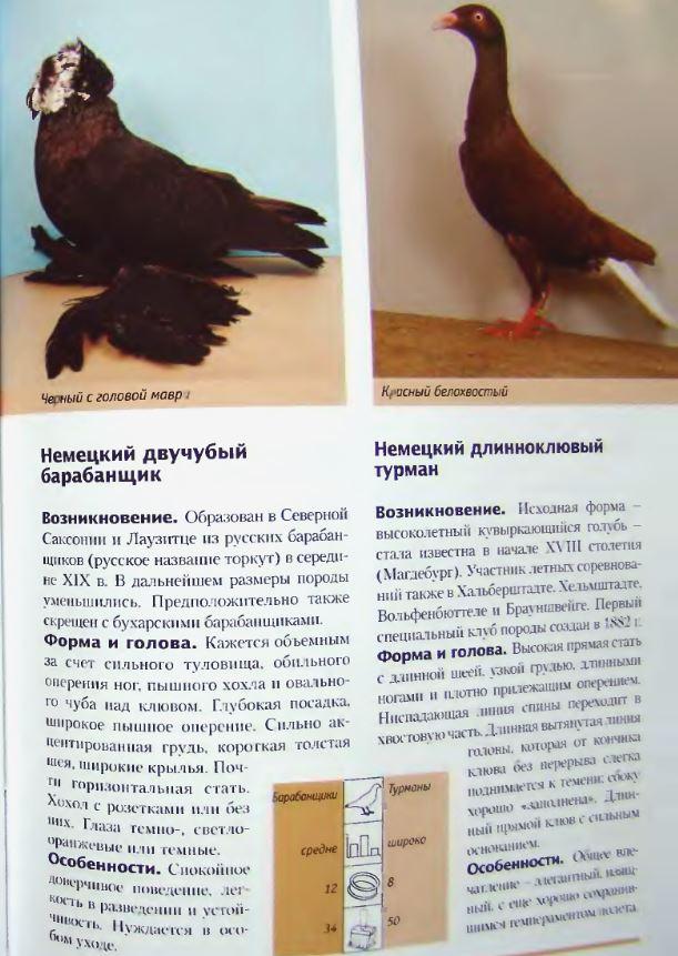 Породы голубей - Страница 2 Image249