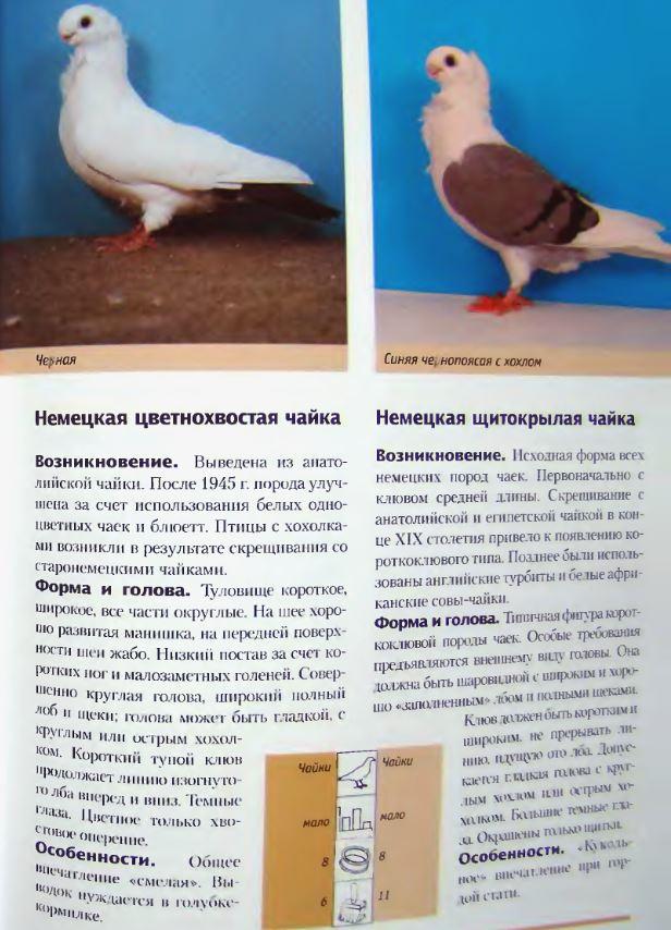 Породы голубей - Страница 2 Image251
