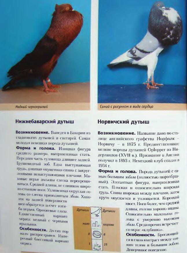 Породы голубей - Страница 2 Image252