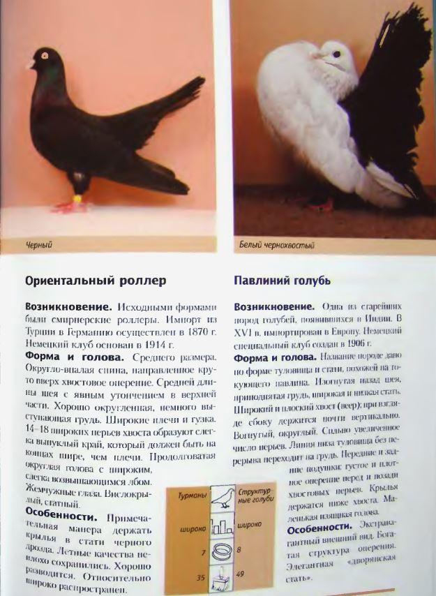 Породы голубей - Страница 2 Image256