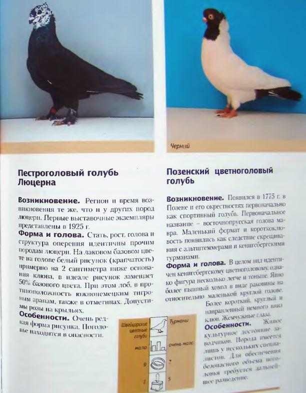 Породы голубей - Страница 2 Image258