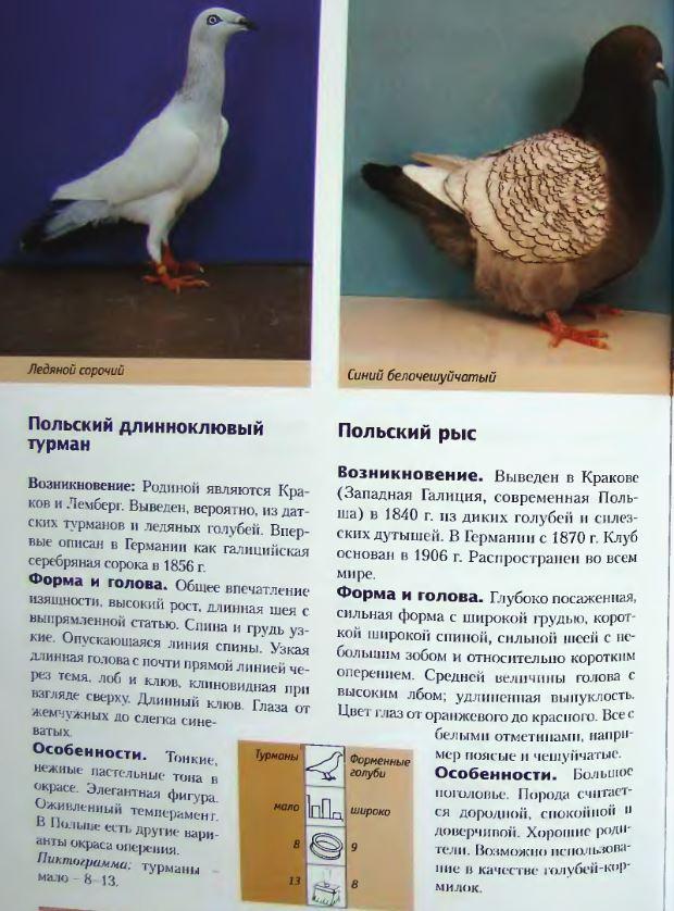 Породы голубей - Страница 2 Image260