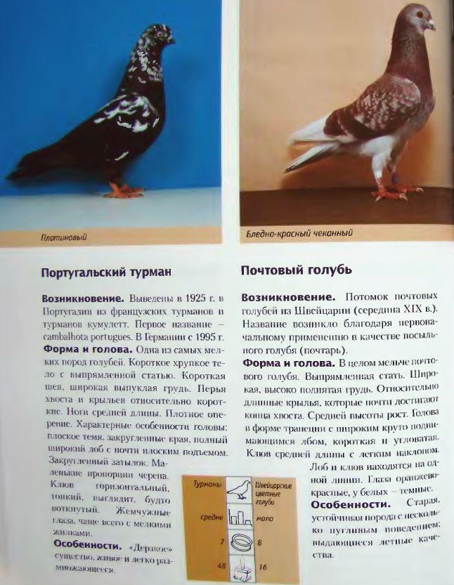 Породы голубей - Страница 2 Image261