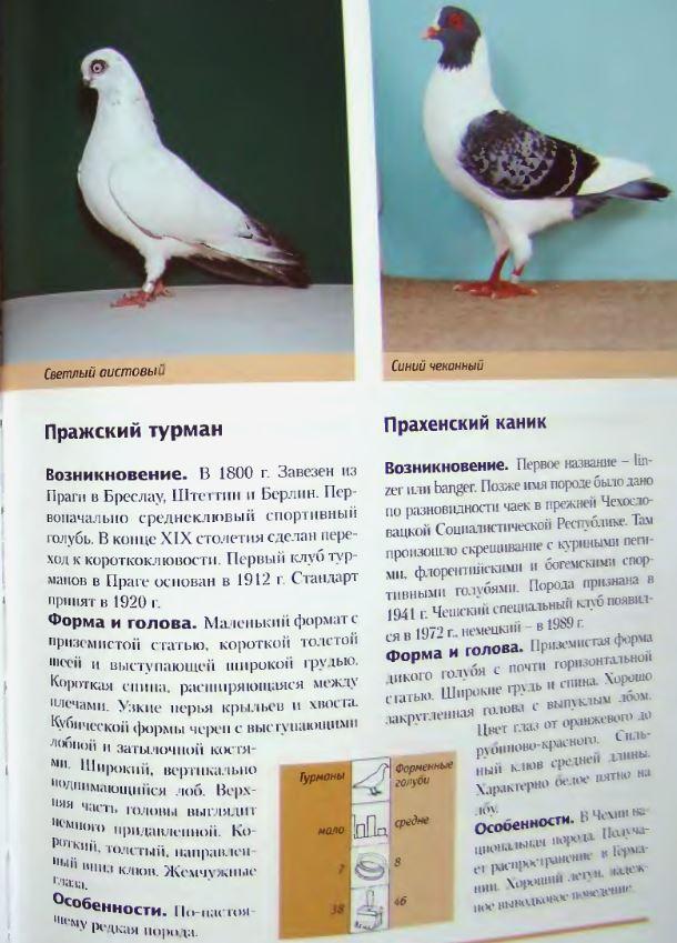 Породы голубей - Страница 2 Image262