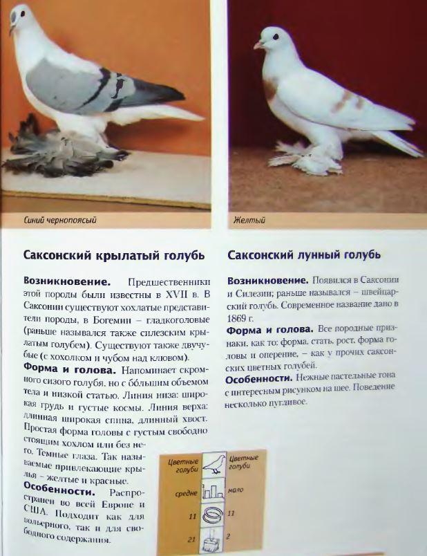 Породы голубей - Страница 2 Image265