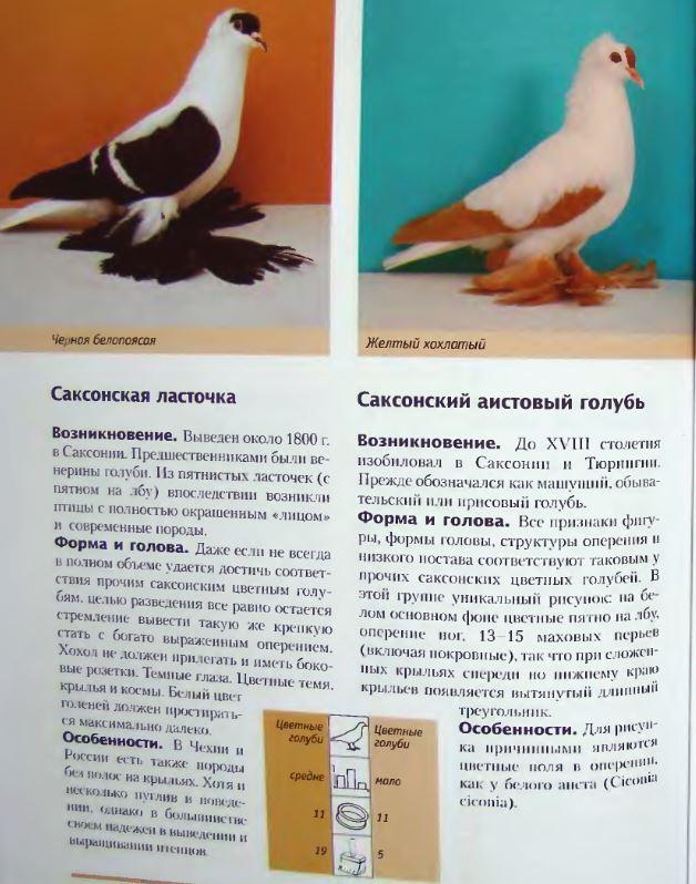 Породы голубей - Страница 2 Image266