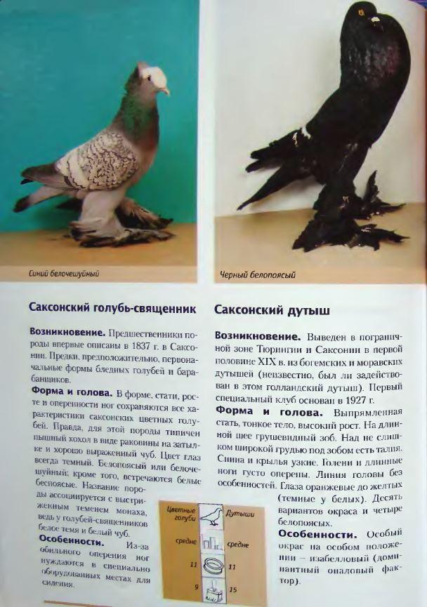 Породы голубей - Страница 2 Image268