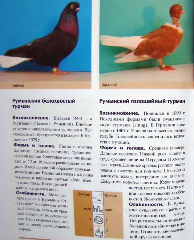 Породы голубей - Страница 2 Image272