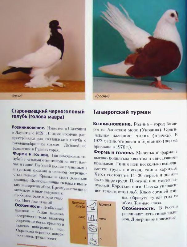 Породы голубей - Страница 2 Image286