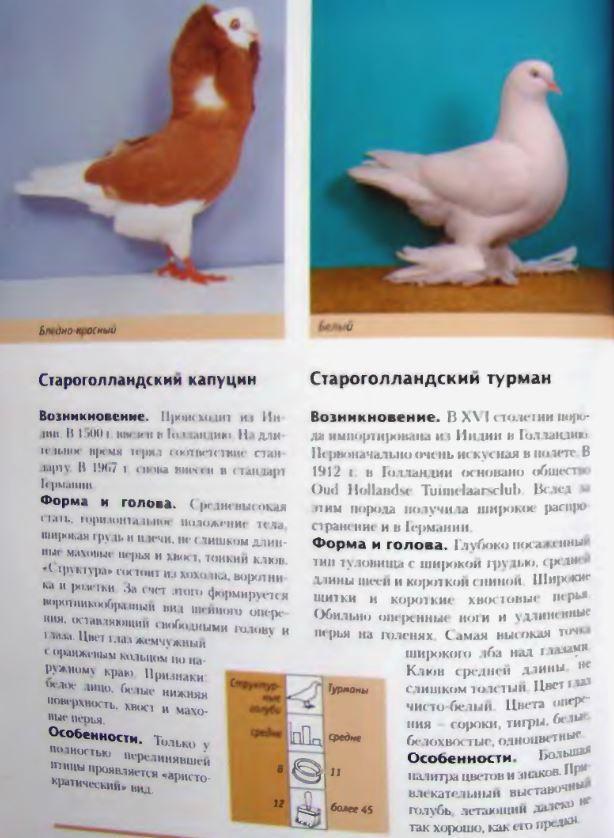 Породы голубей - Страница 2 Image287