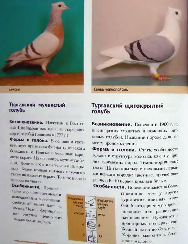 Породы голубей - Страница 2 Image292
