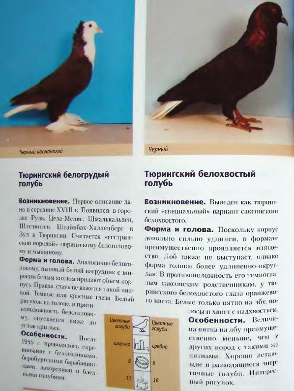 Породы голубей - Страница 2 Image294