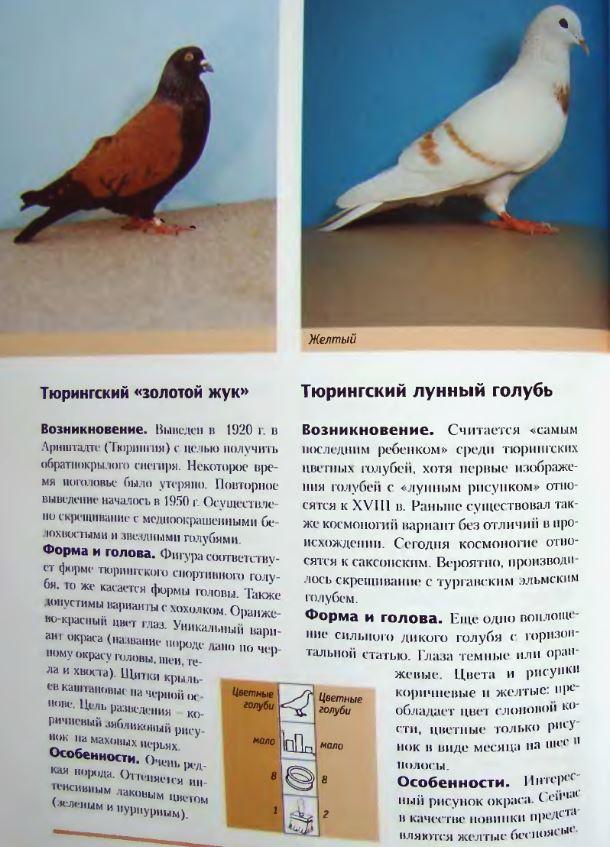 Породы голубей - Страница 2 Image295