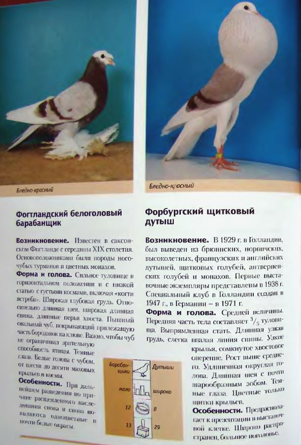 Породы голубей - Страница 2 Image300