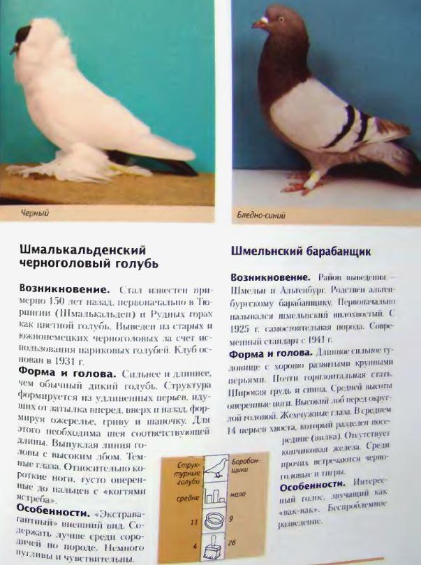 Породы голубей - Страница 2 Image309