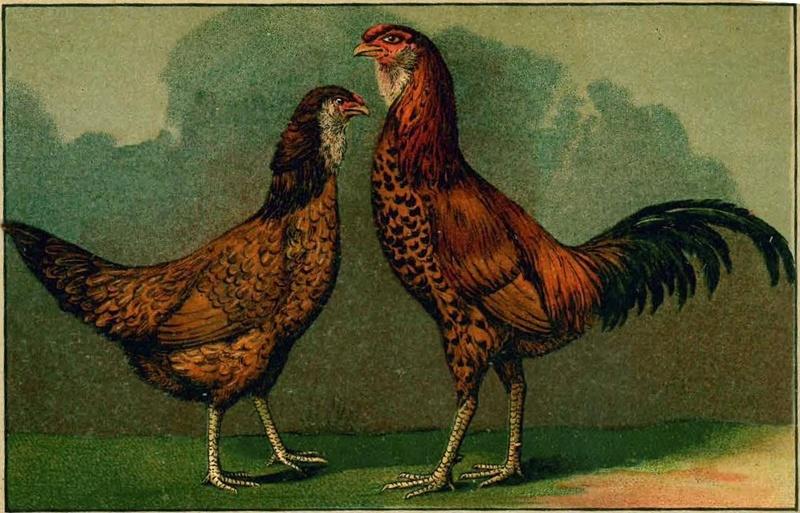 Гилянская порода кур, Gilan breed chickens Image310