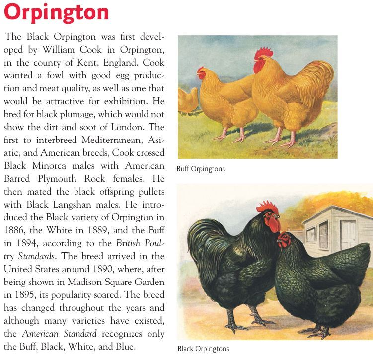 Куры породы Орпингтон - Страница 10 Image388