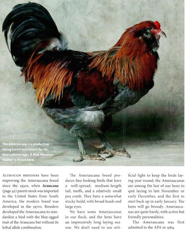 Амераукана, Ameraucana / Easter Egger Image556