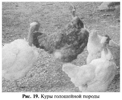 Голошейные куры - Страница 15 Image_53
