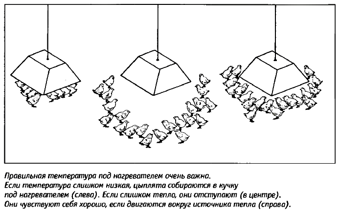 Советы новичку о курочках! - Страница 5 Image_88