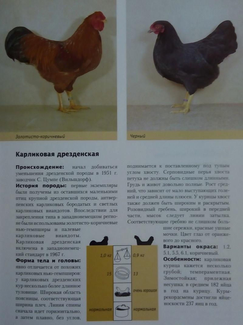Карликовая дрезденская порода кур, Dresden bantam chickens Img_2029