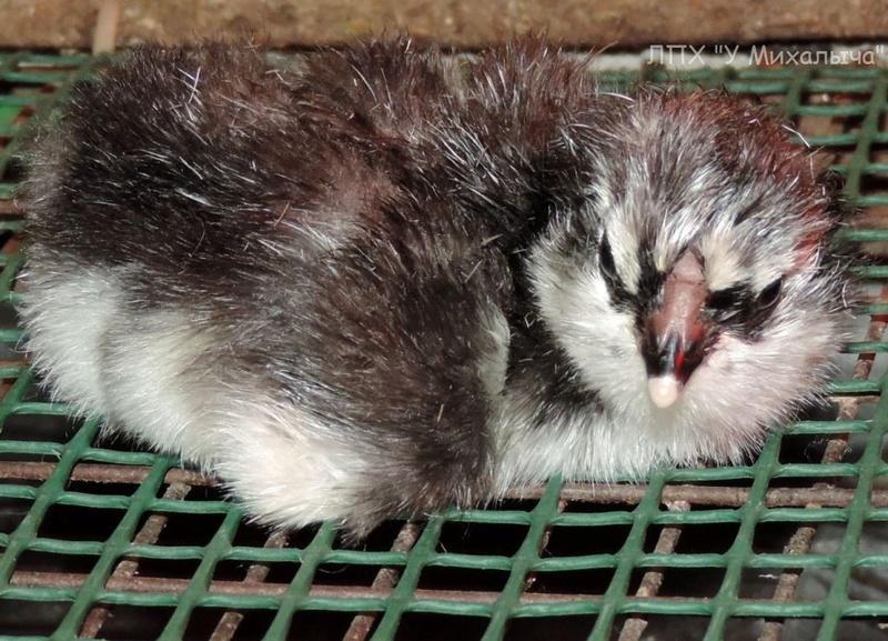 Гилянская порода кур, Gilan breed chickens - Страница 2 O413