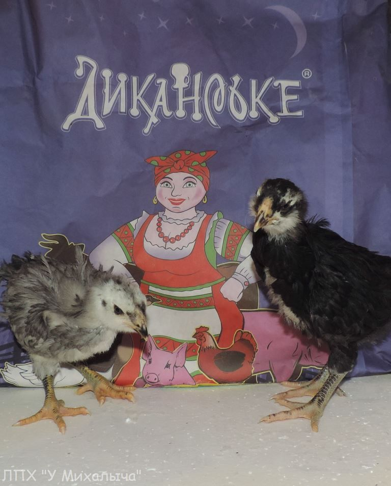Гилянская порода кур, Gilan breed chickens - Страница 3 Oaez-030