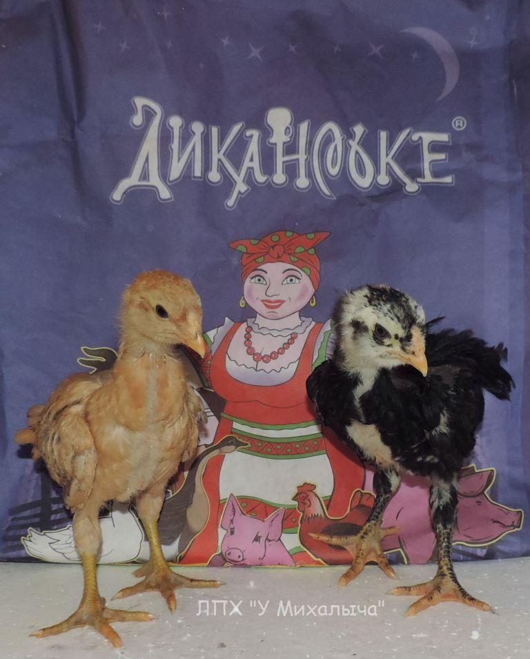 Гилянская порода кур, Gilan breed chickens - Страница 3 Oaez-033