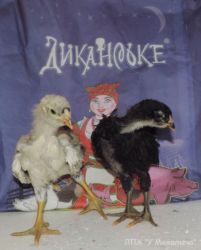 Гилянская порода кур, Gilan breed chickens - Страница 3 Oaez-034