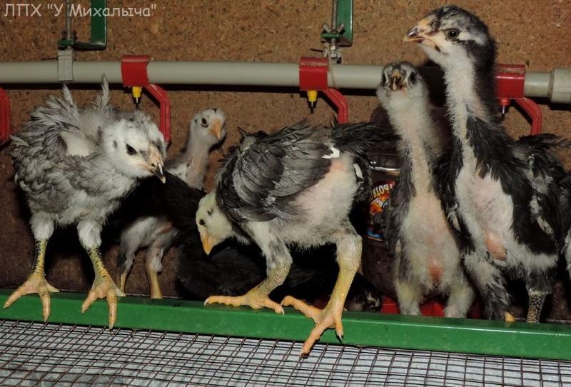 Гилянская порода кур, Gilan breed chickens - Страница 3 Oaez-036