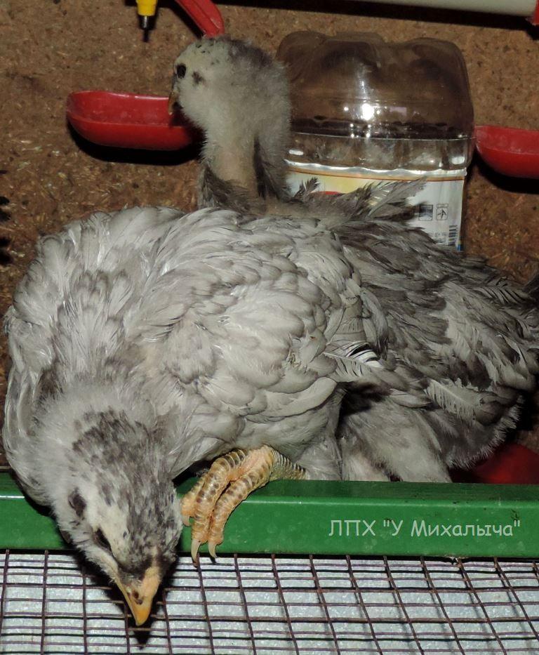 Гилянская порода кур, Gilan breed chickens - Страница 3 Oaez-039