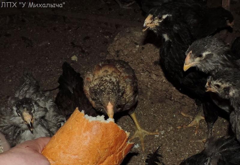 Гилянская порода кур, Gilan breed chickens - Страница 4 Oaez-061