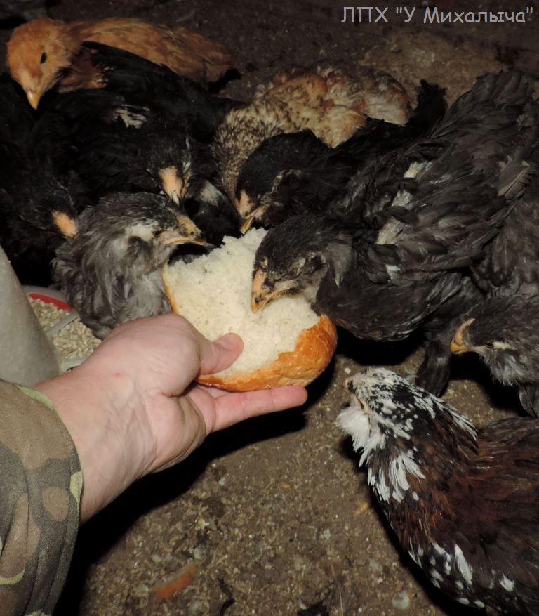 Гилянская порода кур, Gilan breed chickens - Страница 4 Oaez-069
